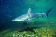 Galapagos shark (c), Carcharhinus galapagensis, Hawaii, USA ( Pacific )