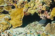 White-tip Reef Shark, Profile, Triaenodon obesus, (Rüppell, 1837), mano lalakea, Molokin Crater, Hawaii