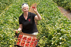 © Licensed to London News Pictures. 19/05/2014. Hints, Staffordshire, UK. Strawberries have started being picked in huge numbers due to the recent good weather. Manor Farm Fruits in Staffordhire started picking on the 24th of April, the earliest they have ever begun picking. Now the good weather means they can start picking in earnest, they foreast that they will break last years record and pick between 25 to 30 million of the little red beauties. Pictured, Elaine Clarke amongst some of the thousands waiting to be picked. Photo credit : Dave Warren/LNP