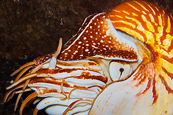 chambered nautilus or Emperor nautilus, Nautilus pompilius, or Palau nautilus, Nautilus belauensis, a living fossil, having survived ralatively unchanged for millions of years, inhabits depths of about 300 m, rising to around 100 m at night for feeding, Indo-Pacific Ocean (c)