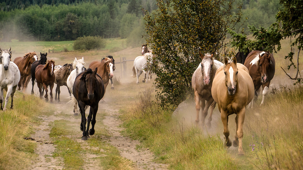 A herd of unsaddled riding horses runs forward, dust rising from their hooves, Spring Lake Ranch, BC, Canada