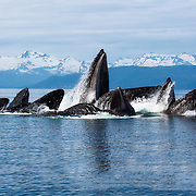 A group of humpback whales (Megaptera novaeangliae) engaged in cooperative foraging behavior commonly referred to as bubble net feeding. The whales find and encircle schools of fish, blowing bubbles as they do so to create a net around the fish and drive them to the surface. The whales then surround the fish and charge up in unison through their prey with mouths wide open. By working together, the whales are able to herd large schools of fish that would be more challenging for a single whale to capture. Photograph taken in Chatham Strait, Alaska.
