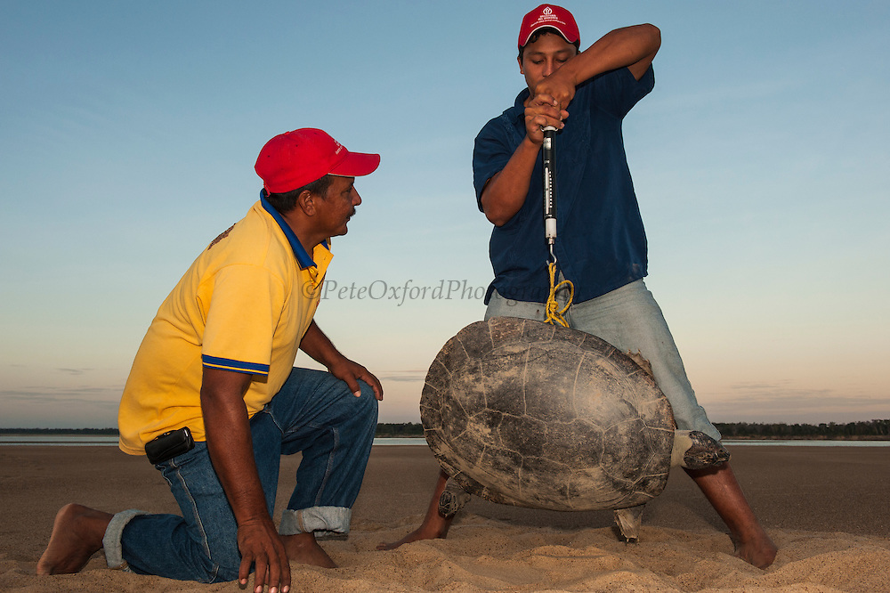 Jose Belmejo weighing Giant River Turtle (Podocnemis expansa) and Hector Tovar looking on.  Part of CAPTIVE-REARING PROGRAM FOR REINTRODUCTION TO THE WILD<br /> CITES II      IUCN ENDANGERED (EN)<br /> Playita Beach, (mid) Orinoco River, 110 Km N of Puerto Ayacucho. Apure Province, VENEZUELA. South America. <br /> L average 90cm, Wgt 30-45kg. Largest fresh water river turtle in S. America. <br /> RANGE: Amazonia, Llanos & Orinoco of Colombia, Venezuela, Brazil, Guianas, Ecuador, Peru & Bolivia.
