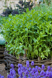 Mentha x verticillata ( mint ) growing in a woven willow raised bed