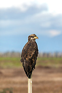 A juvenile Bald Eagle (Haliaeetus leucocephalus) sitting on a fence post near Boundary Bay in Delta, British Columbia, Canada.