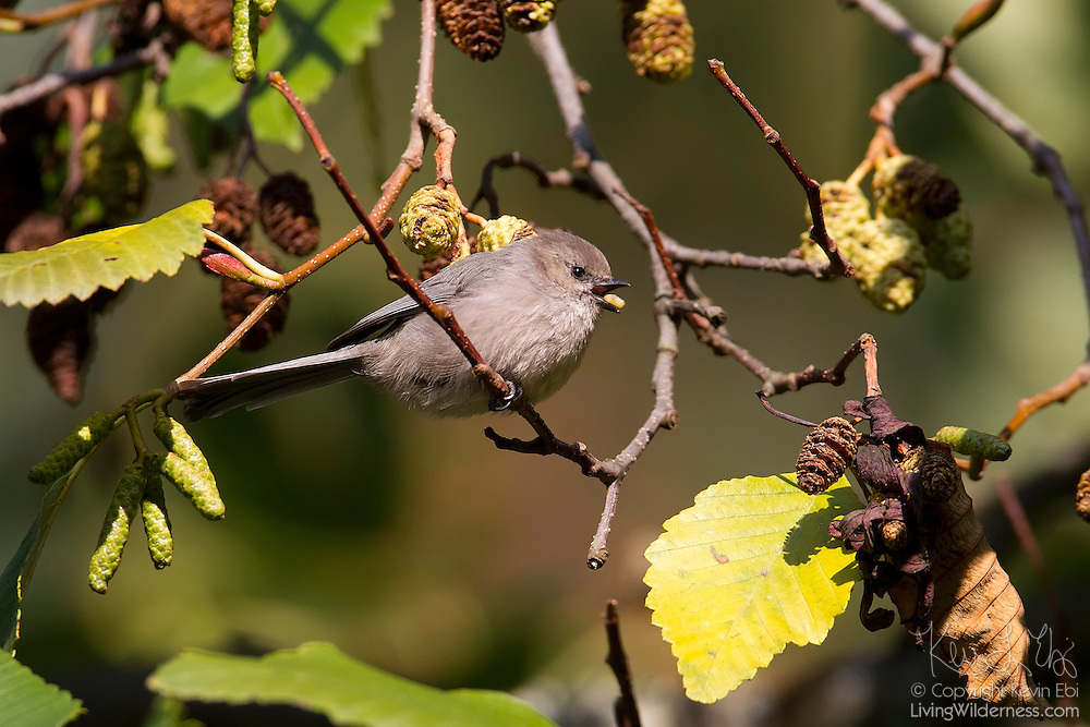 A male bushtit (Psaltriparus minimus) feeds on a seed in Discovery Park, Seattle, Washington.