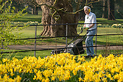 © Licensed to London News Pictures. 12/03/2014. Osterley, UK A man mows the grass near to a colourful display of daffodils. People enjoy the sunny weather at Osterley House in West London today 12 March 2014. Photo credit : Stephen Simpson/LNP