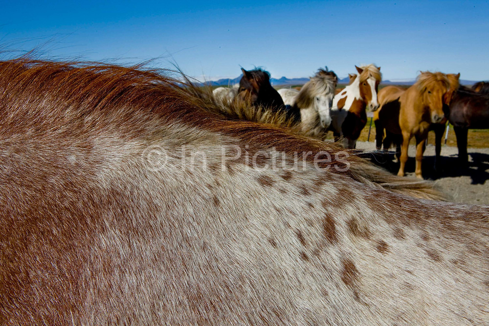 Horse riding in Southern Iceland. By the Gullfoss waterfall.