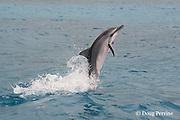 juvenile Hawaiian spinner dolphin or Gray's spinner dolphin or long-snouted spinner dolphin, Stenella longirostris longirostris, leaping from water, Kailua-Kona, Big Island, Hawaii ( Central Pacific Ocean )