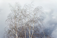 Delicate wispy and random shapes of white birches move gracefully with the gusts of an oncoming Spring rainstorm. The muted tones of a blue-grey sky create a soft watercolor-like background for these lovely tree.