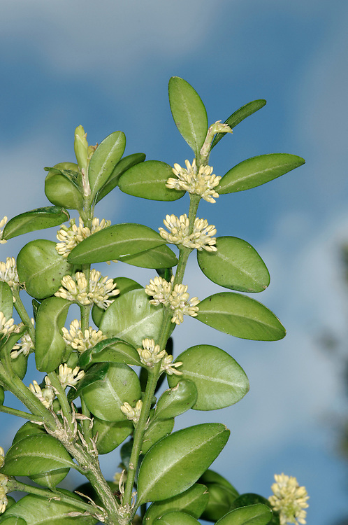 BOX Buxus sempervirens (Buxaceae) Height to 5m<br /> Dense, evergreen shrub or small tree. Familiar as a garden plant, used in hedging and topiary. Native on chalky soils. FLOWERS are tiny and yellowish green, lacking petals (Mar-May). FRUITS are 3-horned capsules. LEAVES are 1.5-3cm long, oval and leathery, with inrolled margins. STATUS-Widely planted but native only to SE England.