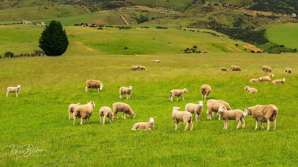 Sheep, Central Otago, South Island, New Zealand