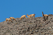 Guanaco (Lama guanicoe) group foraging on rocky ridge, Los Cardones National Park, Argentina