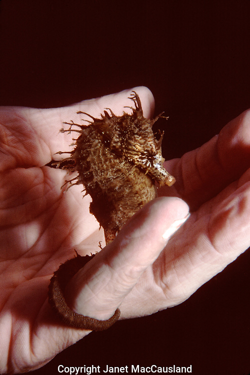 Lined Seahorses (Hippocampus erectus) are not commonly seen, but they have excellent camouflage. They are brown and resemble the local sea weeds, which they cling to with their tails.