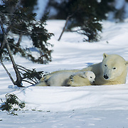 Polar Bear mother resting with a very young cub. Wapusk National Park near Churchill, Manitoba, Canada