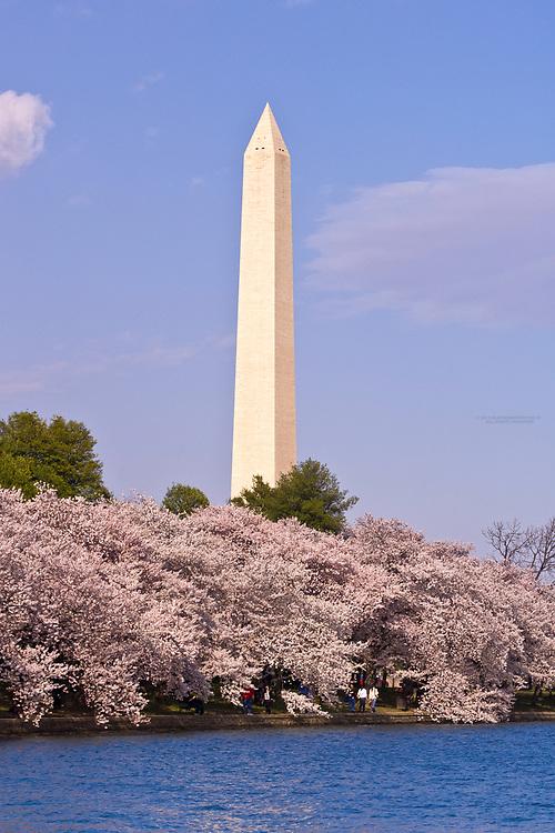 Cherry blossoms (Washington Monument behind), Cherry Tree Walk, Tidal Basin, Washington D.C., U.S.A.