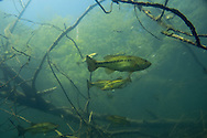 Largemouth Bass<br /> <br /> Christopher Morey/Engbretson Underwater Photography