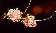 Two Cherry Blossom Branches, Brooklyn Botanic Garden, Brooklyn, New York, Japanese Hill and Pond Garden