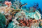 Tasseled Scorpionfish (Scorpaenopsis oxycephala)<br /> Raja Ampat<br /> West Papua<br /> Indonesia