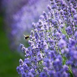 Lavandula 'Hidcote Blue' synonym of Lavandula angustifolia 'Hidcote' Check this isn't Munstead