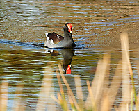 Common Gallinule (Gallinula galeata). Sawgrass Lake Park. Pinellas County, Florida. Image taken with a Nikon D700 camera and 300 mm f/2.8 VR lens and 1.7x TC-E teleconverter.