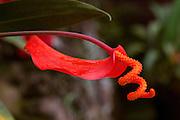 Pigtail Anthurium, Kula BotanicalGarden, Upcountry, Maui, Hawaii