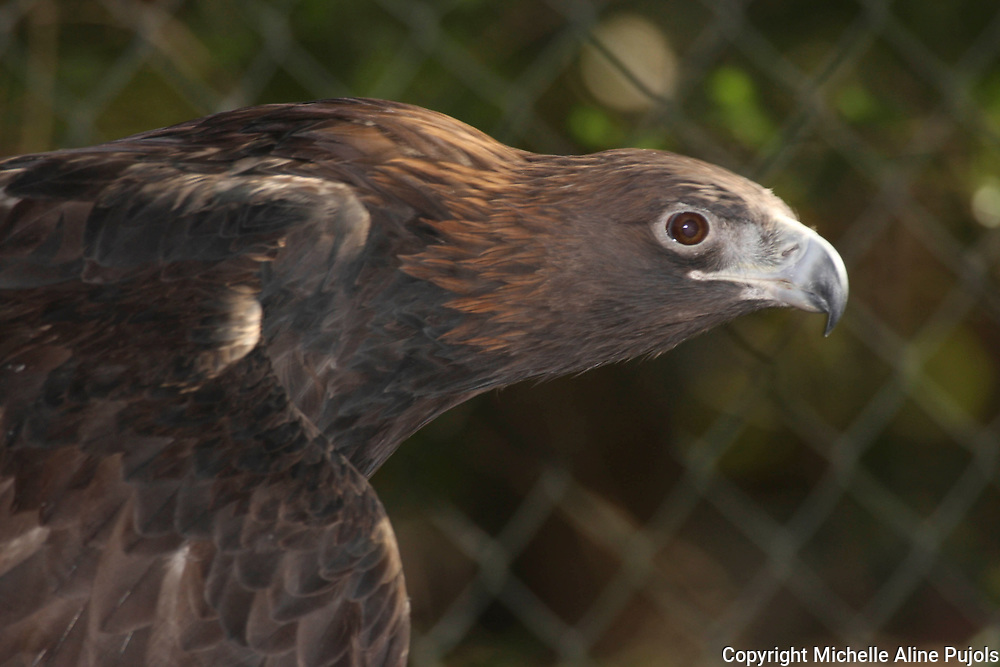 Golden Eagle in Wildlife Rehab