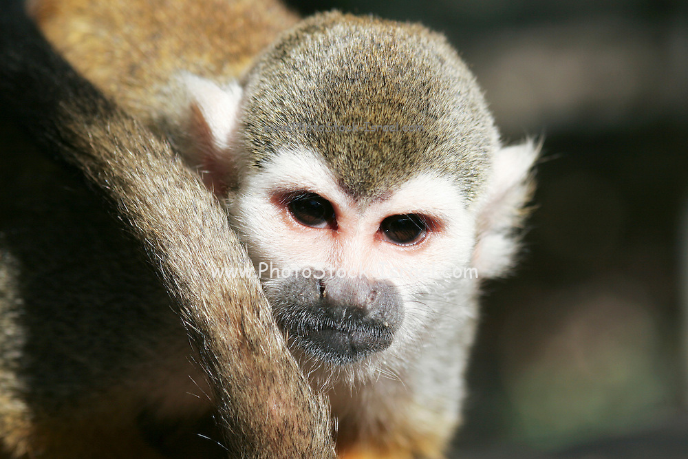 The squirrel monkeys are the New World monkeys of the genus Saimiri. They are the only genus in the subfamily Saimirinae.