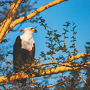 African Fish Eagle in the evening light. At Gorongosa National Park, Mozambique