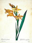 19th-century hand painted Engraving illustration of orange Gladiolus cuspidatus flower, by Pierre-Joseph Redoute. Published in Choix Des Plus Belles Fleurs, Paris (1827). by Redouté, Pierre Joseph, 1759-1840.; Chapuis, Jean Baptiste.; Ernest Panckoucke.; Langois, Dr.; Bessin, R.; Victor, fl. ca. 1820-1850.