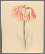 Cyrtanthus oblig [Cyrtanthus obliquus] (1817)from a collection of ' Drawings of plants collected at Cape Town ' by Clemenz Heinrich, Wehdemann, 1762-1835 Collected and drawn in the Cape Colony, South Africa