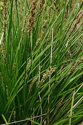 Pluimzegge, Carex paniculata