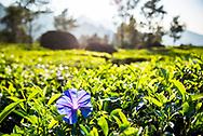 Tea plantations landscape near Munnar in the Western Ghats Mountains, Kerala, India