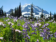 In memorium: lupin and aster flowers bloom prolifically in Spray Park in mid August 2020, in Mount Rainier National Park, Washington, USA. With Carol at this location, I spread my brother Dave's ashes then recorded the image. While bicycling, he lost his life to a negligent motorist on May 8.