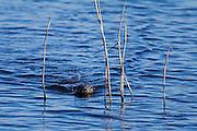 Probable dog otter swimming across Decoy Lake at Shapwick Heath.