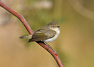Eastern Bonelli's Warbler - Phylloscopus orientalis