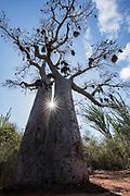 Za Baobab (Adansonia za)<br /> Berenty<br /> South Madagascar<br /> MADAGASCAR