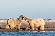 Polar Bears (Ursus maritimus)  play fighting on barrier island along Beaufort Sea  in Kaktovik, Alaska. Autumn. Afternoon.