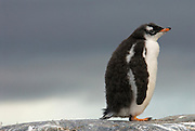 Cute and fuzzy gentoo penguin chick stands on a high rock with grey clouds in the background.