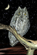 Scops Owl - Otus scops