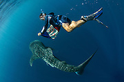 Whale Shark (Rhincodon typus) & tourist<br /> Cenderawasih Bay<br /> West Papua<br /> Indonesia