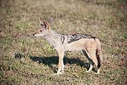 Black backed jackal standing in grassland