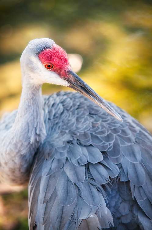 A close-up of one of Florida's most striking native - the sandhill crane.