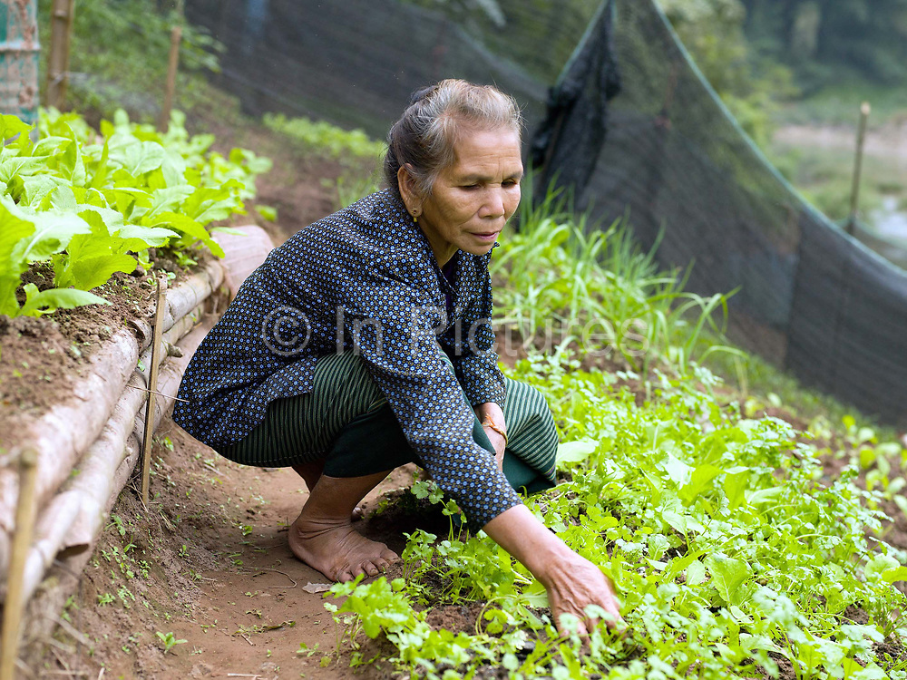 A vegetable grower weeds her garden in the small riverside town of Hatsa, Phongsaly province, Lao PDR. The banks of the Nam Ou river in Hatsa are lined with recession planting - advancing as the dry season sets in and the river's level drops, receding as the rains come and it rises once again.