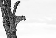 Female leopard using a balanite tree as a vantage point to scout for food or danger in the vicinity. Taken in Masai Mara, Kenya<br />