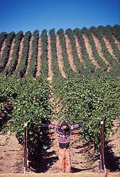Stillwater Creek Vineyard, Royal City, Washington, US