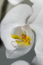 White Phaelenopsis orchid, philippinensis#8