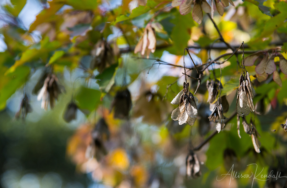 Detail of maple seeds as autumn colours begin in Riding Mountain National Park, Manitoba