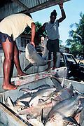 shark buyers load sharks into ice bin, Trinidad ( Caribbean Sea )