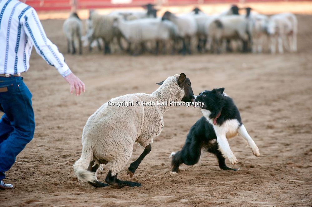 A border collie herds a stray sheep back to the flock at the Rodeo of the Ozarks in Springdale, Arkansas.
